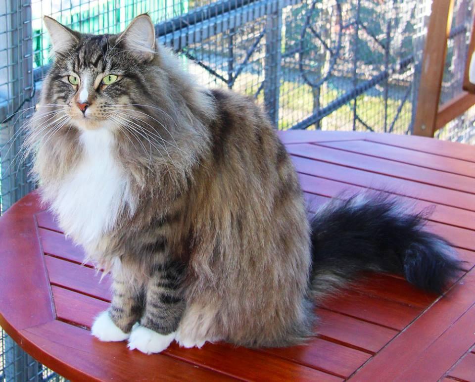 Gatto Norvegese Cuccioli Gatto Norvegese E I Gatti Delle Foreste